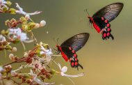 দশ লক্ষ প্রজাপতি বিপদে! কে বাঁচাবে এদের?